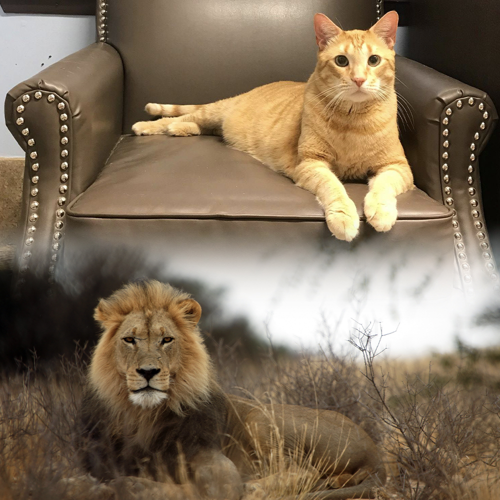 Inside your cat lives the soul of a lion