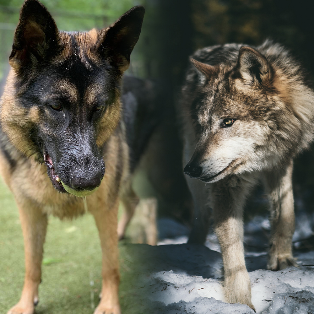 Inside your dog lives the soul of a wolf